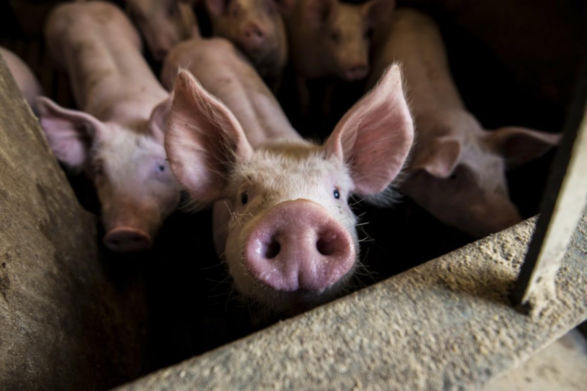 A Catalunya hi havia el 2015 una cabana porcina declarada de 7,6 milions de caps