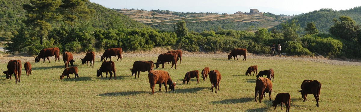 Vaques pasturant a la serra de Castelltallat