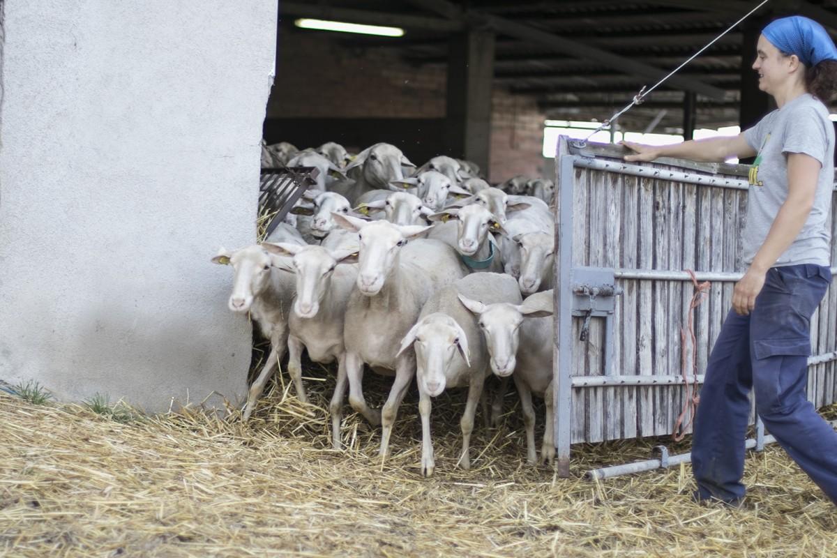 El ramat del Serradet sortint del corral després de la munyida del matí