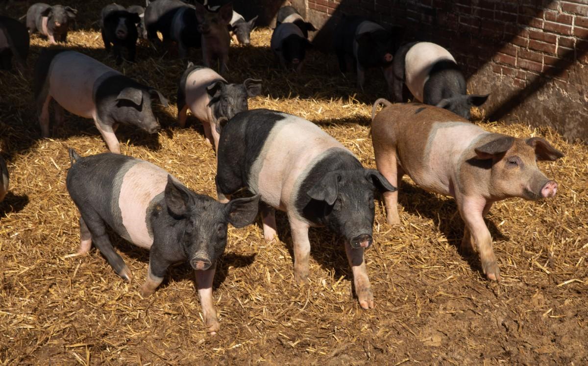 Porcs en semillibertat a la Granja Ramonich de la Pinya