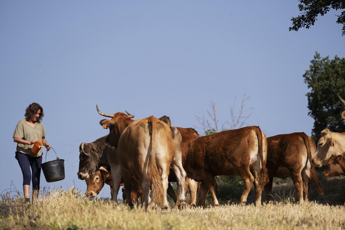 Un ramat de vaques a la Casa Nova de Sora, una de les explotacions col·laboradores en els programes d'innovació agrària d'ARCA